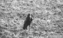 Pier Paolo Pasolini: Dravci a vrabci